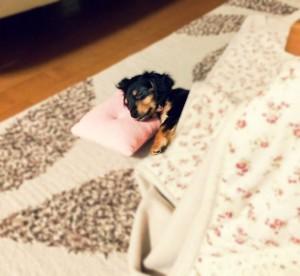 こたつで寝る犬